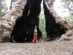 Giant Tingle Tree Headstand, Walpole, WA, Australia